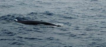 鲸鱼在亚速尔群岛群岛 库存图片