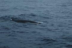 鲸鱼在亚速尔群岛群岛 免版税库存照片