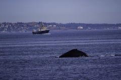 鲸鱼在海洋在水域中BC维多利亚 免版税库存图片