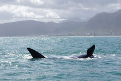 鲸鱼在海洋有山背景 免版税图库摄影