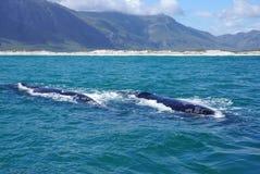 鲸鱼在海洋有山背景 库存图片