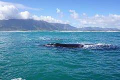 鲸鱼在海洋有山背景 免版税库存图片