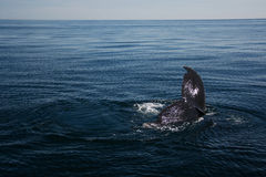 鲸鱼在海 图库摄影