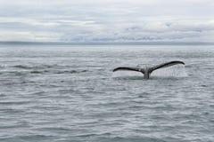 鲸鱼尾巴在阿拉斯加 免版税库存照片