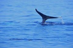 鲸鱼尾标,当淹没时 库存照片