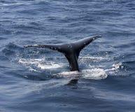 鲸鱼尾标 免版税库存照片