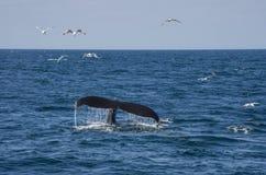 鲸鱼尾巴和海鸥 免版税库存图片