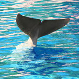 鲸鱼尾巴潜水 免版税库存图片