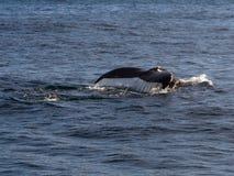 鲸鱼尾巴 免版税图库摄影