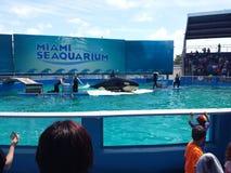 鲸鱼展示 库存照片