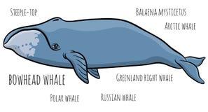 鲸鱼或格陵兰鲸鱼 皇族释放例证