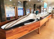 鲸鱼最基本的显示在查尔斯・达尔文中心,圣克鲁斯岛 免版税库存照片