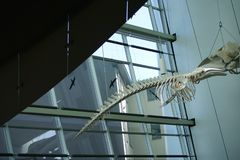 鲸鱼最基本的海博物馆 库存照片