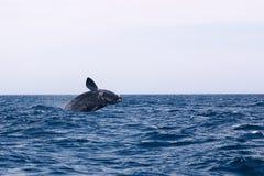 鲸鱼极光鲸类的Eubalaena 库存图片
