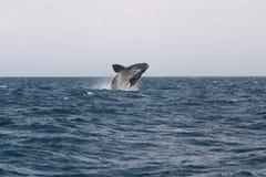 鲸鱼极光鲸类的Eubalaena 免版税库存图片