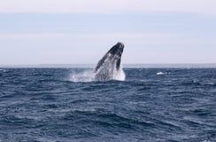 鲸鱼极光鲸类的Eubalaena 免版税库存照片