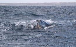 鲸鱼极光鲸类的Eubalaena 库存照片
