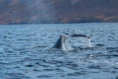 鲸鱼比目鱼在Dalvik,冰岛的水域中 库存图片