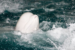 鲸鱼白色 库存图片