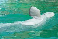 鲸鱼白色 免版税库存照片