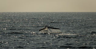 鲸鱼的传说 库存照片