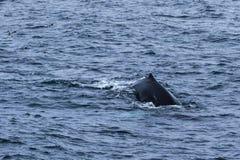 鲸鱼的后面 库存照片