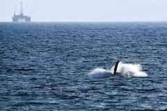 鲸鱼的尾巴 免版税库存图片