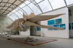 鲸鱼的骨骼 世界海洋的博物馆在Kalining 免版税库存照片