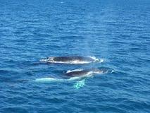 鲸鱼观看 免版税库存图片