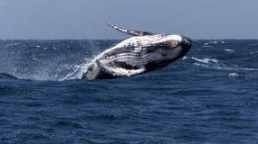 鲸鱼驼背 库存照片