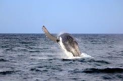 鲸鱼驼背 免版税库存图片