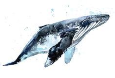 鲸鱼 驼背鲸水彩例证 免版税图库摄影