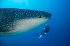鲸鲨和潜水者 免版税图库摄影