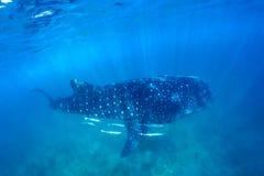 鲸鲨和美好的水下的场面与海洋生物在阳光下在蓝色海 在水面下潜航和水肺马尔代夫 免版税库存图片