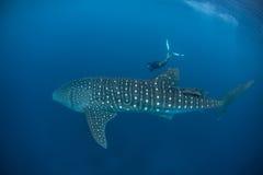鲸鲨和自由的潜水者 免版税库存图片