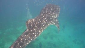 鲸鲨在海洋 股票视频