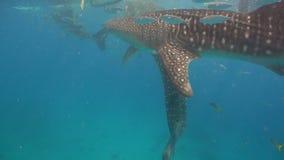鲸鲨在海洋 股票录像