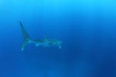 鲸鲨在红海 免版税库存图片