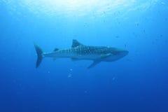 鲸鲨在红海 免版税图库摄影