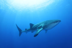 鲸鲨在红海 库存照片