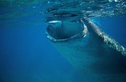 鲸鲨开放嘴水下的照片 鲸鲨由海表面的头特写镜头 库存图片