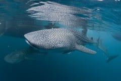 鲸鲨画象水下在巴布亚 图库摄影