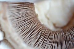 鳃蘑菇 库存图片