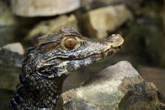 鳄鱼一点 免版税库存图片