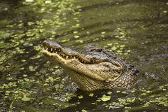 鳄鱼上升在沼泽的水的外面,佛罗里达 库存图片