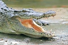 鳄鱼下颌 免版税库存照片