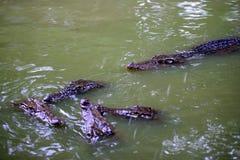 鳄鱼中心重庆鳄鱼 图库摄影