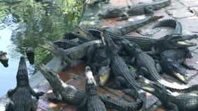 鳄鱼临近在鳄鱼农场的水 哺养的鳄鱼和掠食性爬行动物在动物农场 影视素材
