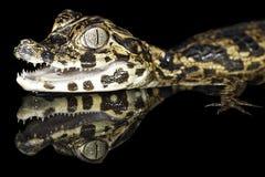 鳄鱼亚马逊大鳄鱼森林热带gator的雨 库存照片