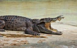 鳄鱼以开放嘴休息 免版税图库摄影